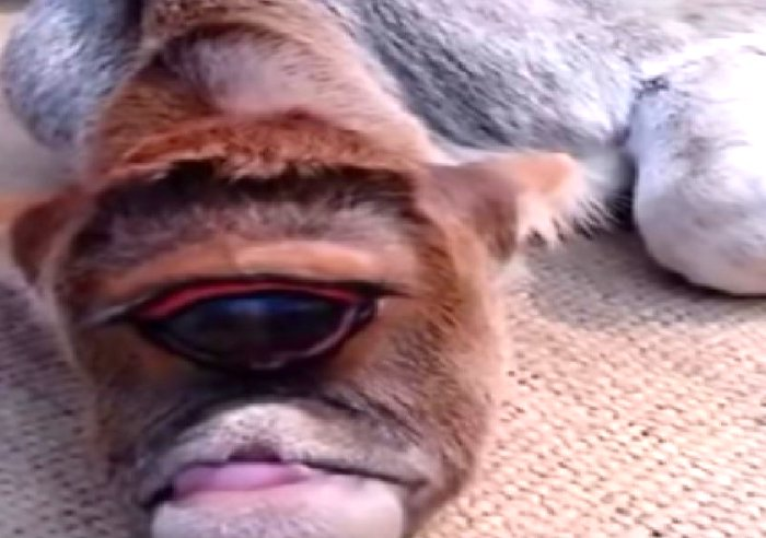 Deformed One-Eyed Calf Worshiped in India as a New God